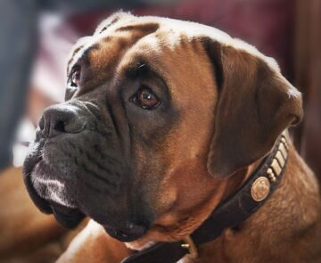 Animals___Dogs_Beautiful_boxer_looking_at_host_050509_